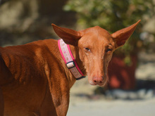 CELTA, Hund, Podenco-Mix in Spanien - Bild 12