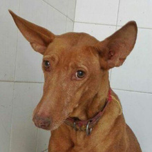 CELTA, Hund, Podenco-Mix in Spanien - Bild 2