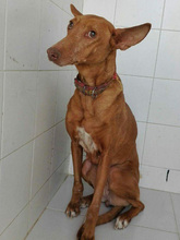 CELTA, Hund, Podenco-Mix in Spanien - Bild 3