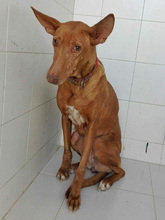 CELTA, Hund, Podenco-Mix in Spanien - Bild 4