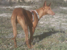 CELTA, Hund, Podenco-Mix in Spanien - Bild 7