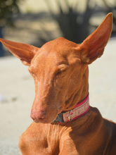 CELTA, Hund, Podenco-Mix in Spanien - Bild 8