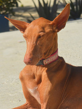 CELTA, Hund, Podenco-Mix in Spanien - Bild 9