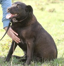 PLUTO, Hund, Labrador-Mix in Portugal - Bild 1
