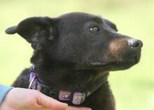 PLUTO, Hund, Labrador-Mix in Portugal - Bild 10