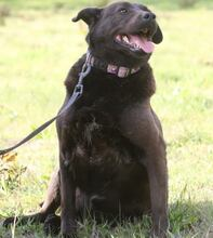 PLUTO, Hund, Labrador-Mix in Portugal - Bild 11