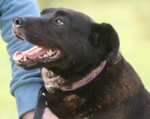 PLUTO, Hund, Labrador-Mix in Portugal - Bild 3
