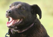 PLUTO, Hund, Labrador-Mix in Portugal - Bild 5