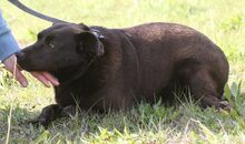 PLUTO, Hund, Labrador-Mix in Portugal - Bild 9