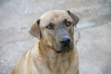 DUKE, Hund, Labrador-Mix in Spanien - Bild 1