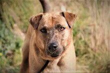 DUKE, Hund, Labrador-Mix in Spanien - Bild 10