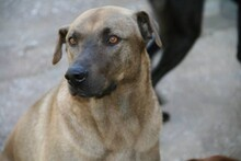 DUKE, Hund, Labrador-Mix in Spanien - Bild 2