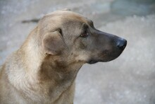 DUKE, Hund, Labrador-Mix in Spanien - Bild 3
