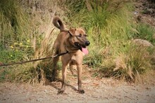DUKE, Hund, Labrador-Mix in Spanien - Bild 5