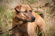DUKE, Hund, Labrador-Mix in Spanien - Bild 7