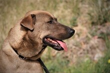 DUKE, Hund, Labrador-Mix in Spanien - Bild 8