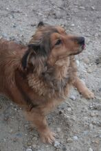 NOCI, Hund, Dackel-Mix in Ungarn - Bild 5