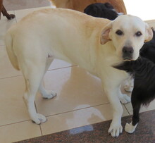 SLEEPY, Hund, Labrador-Mix in Zypern - Bild 6