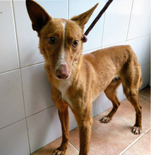 TRAVIS, Hund, Podenco-Mix in Spanien - Bild 1