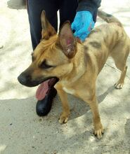 NIRVANA, Hund, Malinois-Mix in Spanien - Bild 2