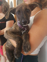 BAILEY, Hund, Galgo Español-Mix in Braunfels - Bild 12