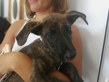 BAILEY, Hund, Galgo Español-Mix in Braunfels - Bild 13