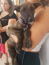 BAILEY, Hund, Galgo Español-Mix in Braunfels - Bild 14
