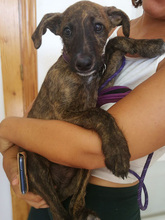 BAILEY, Hund, Galgo Español-Mix in Braunfels - Bild 5