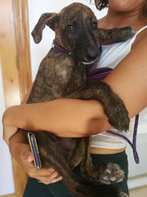 BAILEY, Hund, Galgo Español-Mix in Braunfels - Bild 6