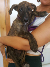 BAILEY, Hund, Galgo Español-Mix in Braunfels - Bild 7