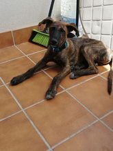 BAILEY, Hund, Galgo Español-Mix in Braunfels - Bild 9