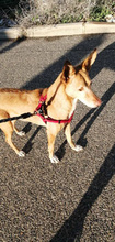 SPIRIT, Hund, Podenco-Mix in Spanien - Bild 11