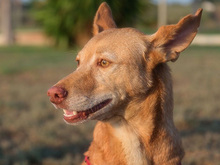 SPIRIT, Hund, Podenco-Mix in Spanien - Bild 14