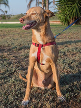SPIRIT, Hund, Podenco-Mix in Spanien - Bild 2