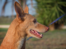 SPIRIT, Hund, Podenco-Mix in Spanien - Bild 3