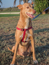 SPIRIT, Hund, Podenco-Mix in Spanien - Bild 4