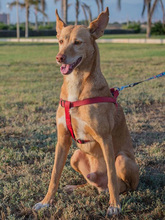 SPIRIT, Hund, Podenco-Mix in Spanien - Bild 5
