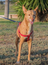SPIRIT, Hund, Podenco-Mix in Spanien - Bild 6