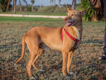 SPIRIT, Hund, Podenco-Mix in Spanien - Bild 7