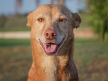 SPIRIT, Hund, Podenco-Mix in Spanien - Bild 8