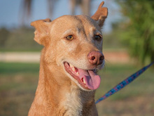 SPIRIT, Hund, Podenco-Mix in Spanien - Bild 9