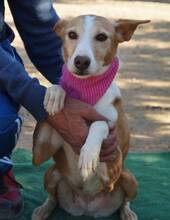 KITTY, Hund, Podenco Andaluz in Spanien - Bild 1