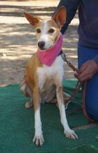 KITTY, Hund, Podenco Andaluz in Spanien - Bild 2