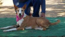 KITTY, Hund, Podenco Andaluz in Spanien - Bild 3
