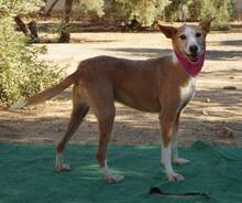 KITTY, Hund, Podenco Andaluz in Spanien - Bild 4