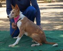 KITTY, Hund, Podenco Andaluz in Spanien - Bild 5