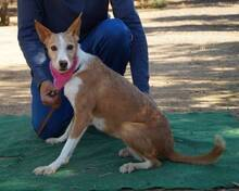 KITTY, Hund, Podenco Andaluz in Spanien - Bild 6
