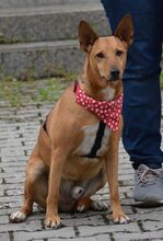 ADAM, Hund, Podenco Andaluz-Mix in Spanien - Bild 2