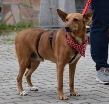 ADAM, Hund, Podenco Andaluz-Mix in Spanien - Bild 4
