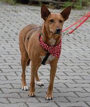 ADAM, Hund, Podenco Andaluz-Mix in Spanien - Bild 5
